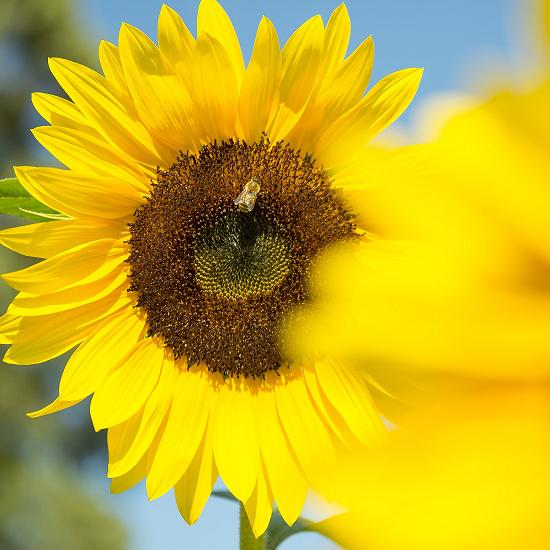 Sunflower_Shot 212m